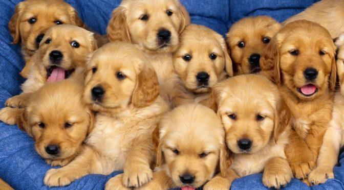 Povinné čipovanie psov a registrácia ošípaných